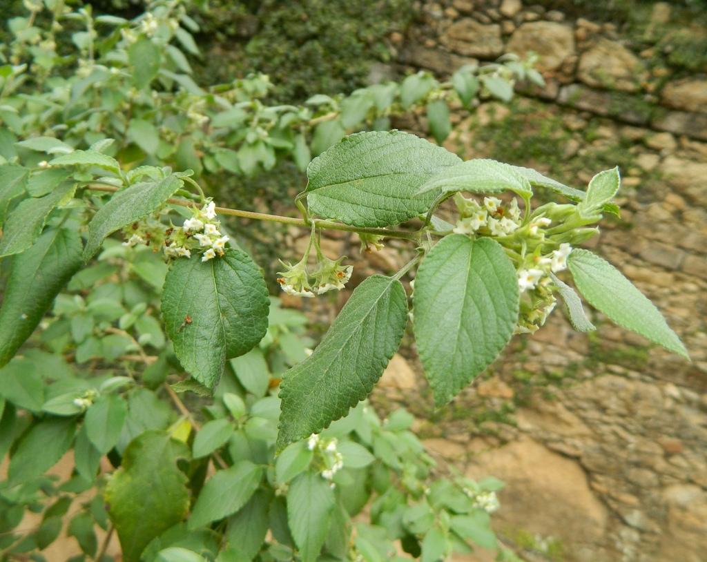 Planta medicinal – Alecrim pimenta