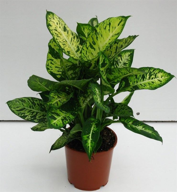 Plantas tóxicas - comigo-ninguém-pode Plantas e Hortaliças
