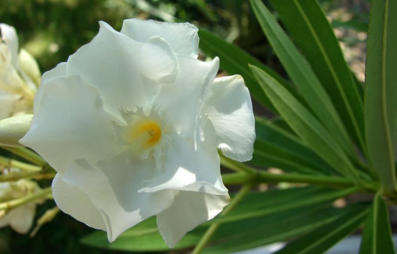 Plantas tóxicas – espirradeira branca - Plantas e Hortaliças