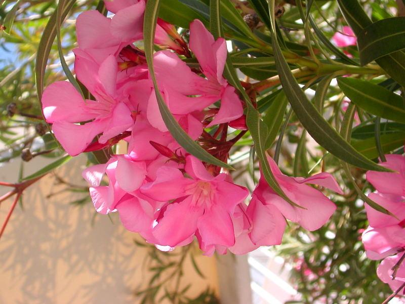 Plantas tóxicas – espirradeira