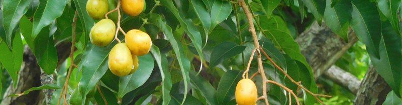 Planta medicinal – Cajazeira