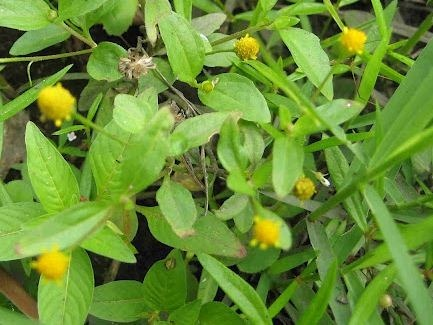 Planta medicinal – Agrião bravo