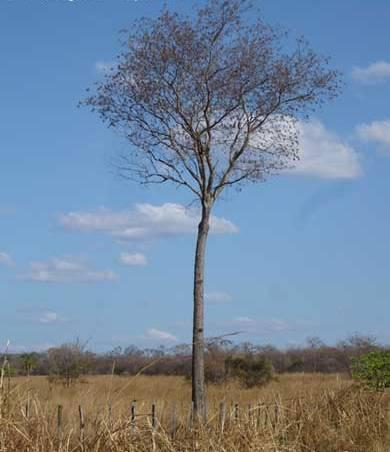 Planta medicinal – Aroeira