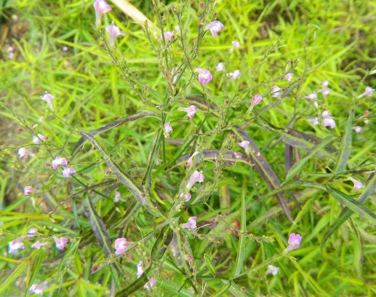 Planta medicinal – Chambá