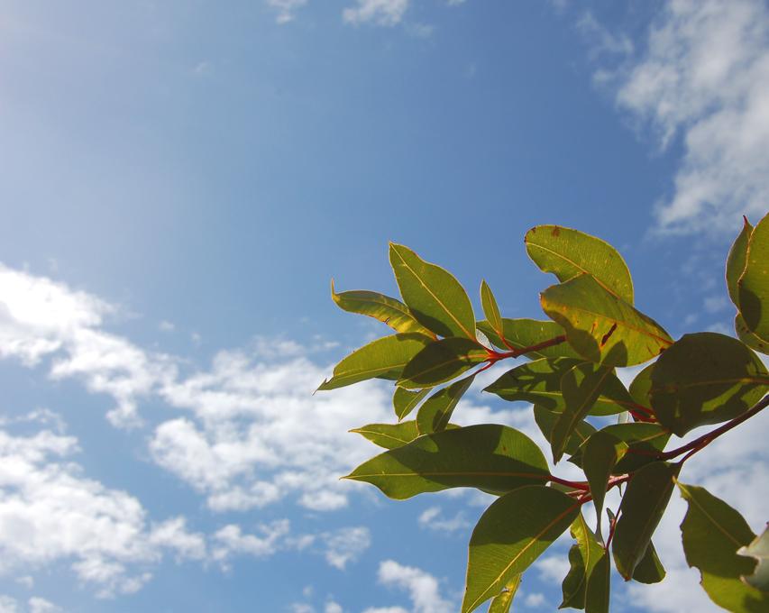 Planta medicinal – Eucalipto medicinal