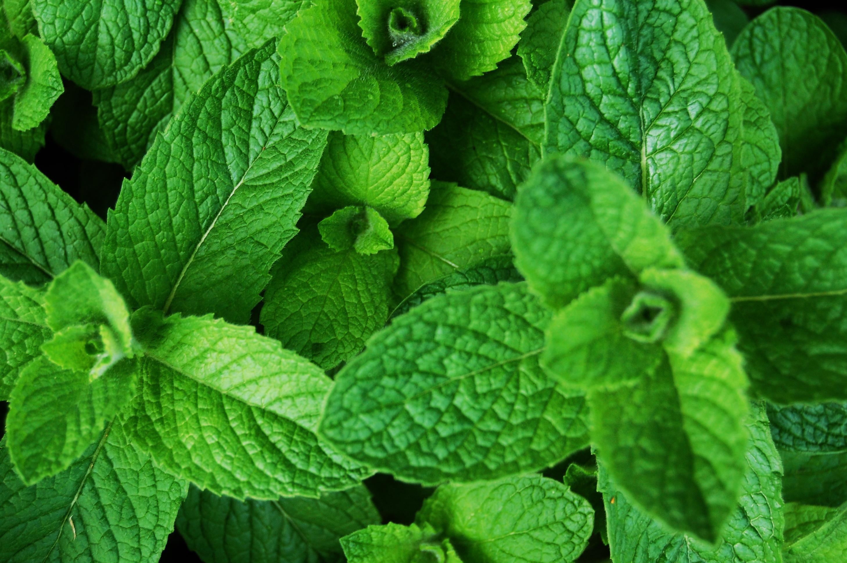 Planta medicinal – Hortelã rasteira