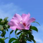 Planta medicinal – Malvarisco