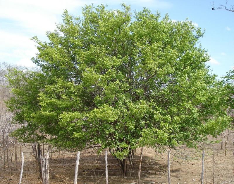 Planta medicinal - Juazeiro