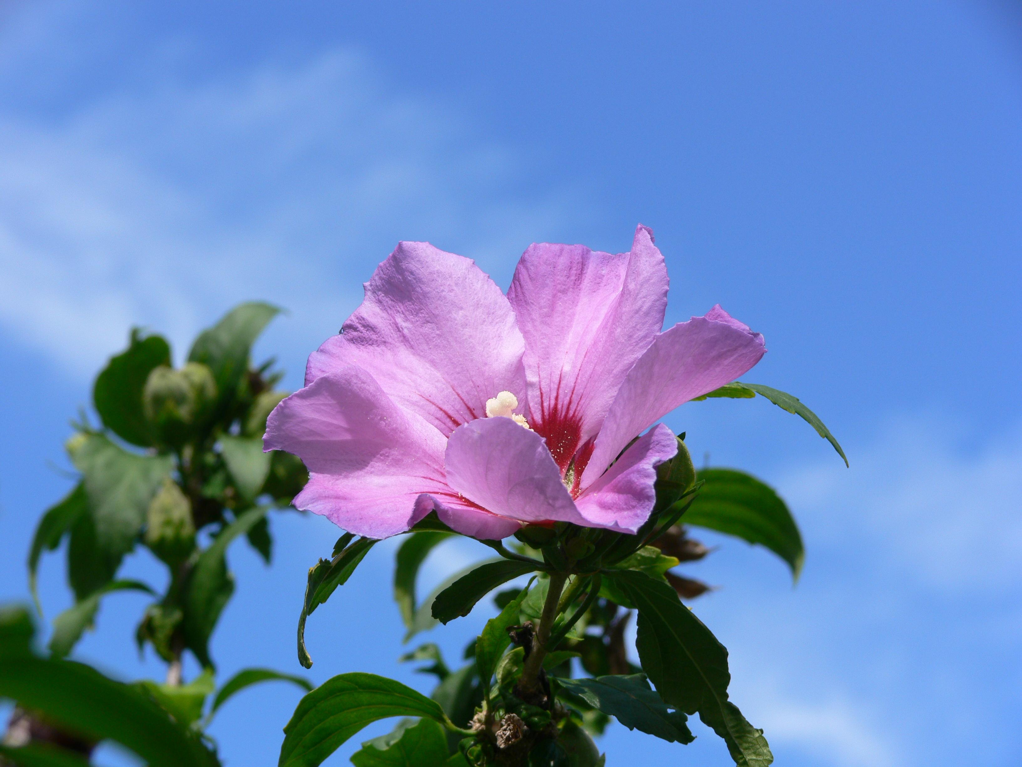 Planta medicinal - Malvariço, malvarisco, malva, hortelã grande
