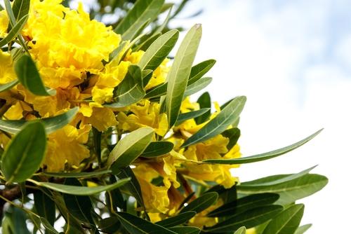 Planta medicinal – Pau-D'Arco