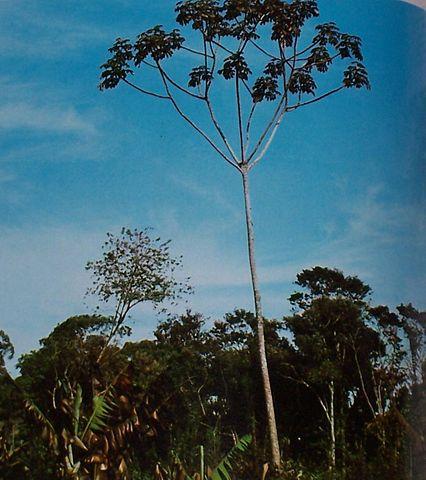 Planta medicinal – Torém